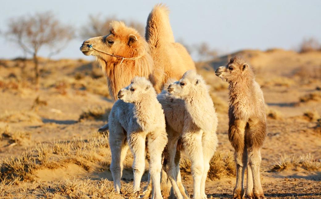 noble camel